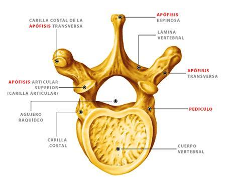 Anatomía de la espalda humana. Lesiones y patologías