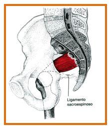 Músculo piriforme, vista lateral