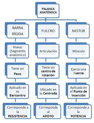 abc anatomía: LOS MÚSCULOS ESQUELÉTICOS Y EL MOVIMIENTO II