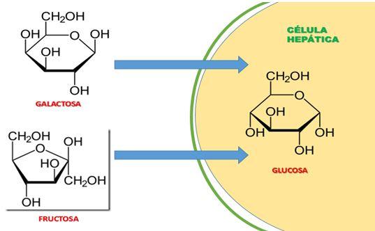 Explicación De La Degradación De La Glucosa. Un
